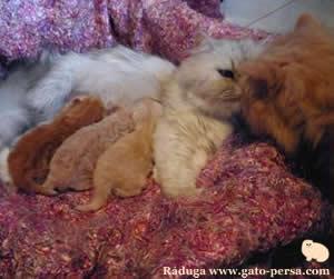 el padre visita a sus hijos recien nacidos. Gata persa chinchilla Lapka