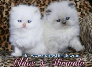 Gatitos persas himalayos Cream y Lilac point