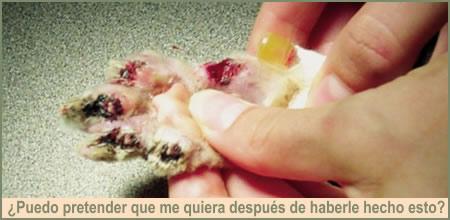 Como Banar Secar Peinar Gato Persa Como Limpiar Ojos Del Gato