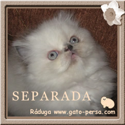 Gata persa colorpoint