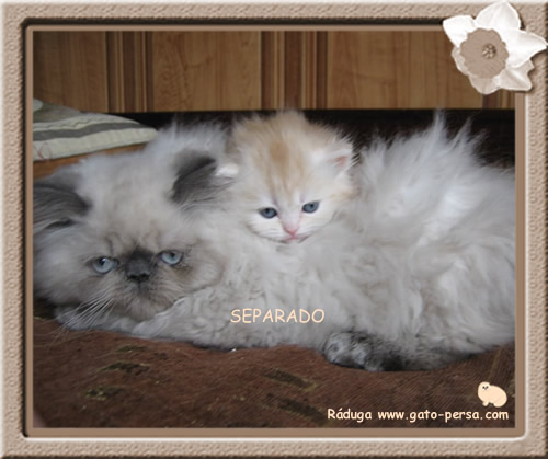 gato-persa-colorpoint-himalaya-blue-point