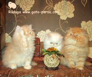 gatos-persa-crema-rojo-red-point