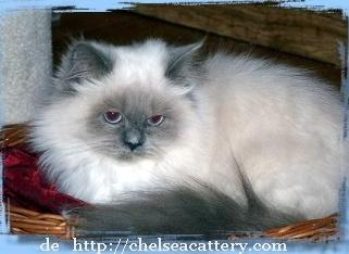 gato persa-himalayo blue point