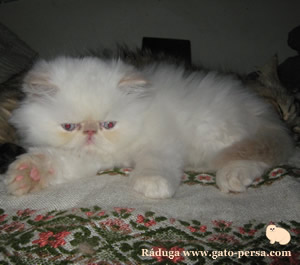 gatito himalayo cream point