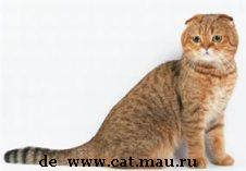 Scottish Fold de pelo corto