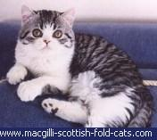 gato de raza Scottish Straight de pelo corto